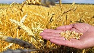Сбор урожая зерна завершён