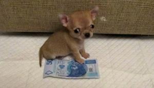 Крошечный пёс