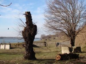 Каждый пень - как крест над могилой дерева…