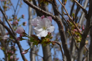Когда сакура цветёт - желания сбываются