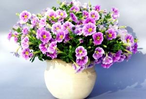 Секрет обильного цветения петунии