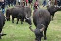 Стадо буйволов в Ренийском районе вызвало ажиотаж среди центральных украинских телеканалов
