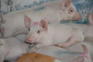 Африканская чума свиней: малые затраты на профилактику провоцируют большие потери