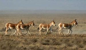 Степные антилопы поселились в Тарутинском районе