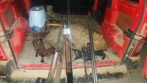 С участием охотоведа лесхоза на острове Кислицкий убили кабана