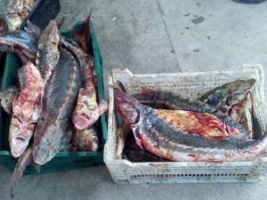 Микроавтобус, перевозивший краснокнижную рыбу, задержан