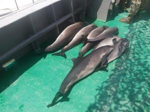 Семь дельфинов погибли в браконьерских сетях на территории Дунайского биосферного заповедника