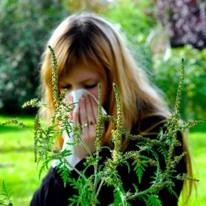 Осторожно: цветёт амброзия!