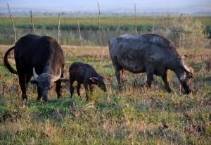 Водяные буйволы живут на ферме. В целях сохранности
