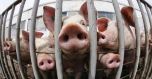 Чума свиней подобралась к Измаильщине