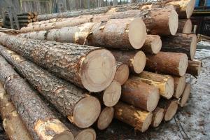 Более полусотни дубов повалили ночью под Болградом