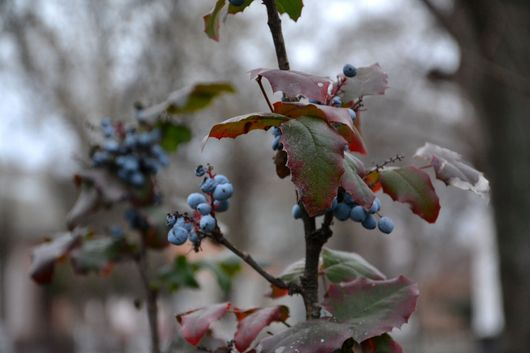 На веточках магонии осень с весной встретились