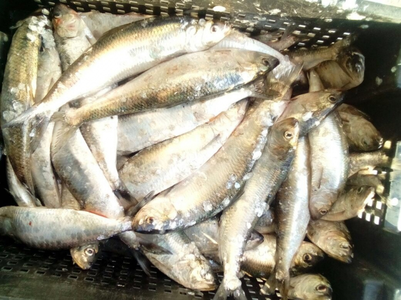 Во время запрета нарушитель выловил 46 кг рыбы в реке Дунай