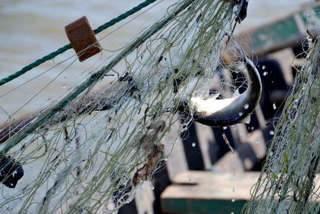 Дунайка идёт, вилковские рыбаки не дремлют