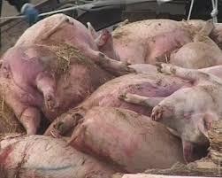 Свиная чума - через Дунай