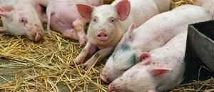Власти Измаильского района заявили об очередной вспышке африканской чумы свиней