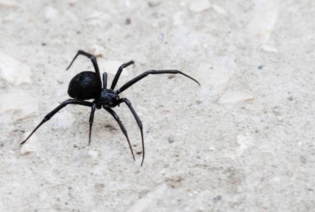 Ядовитые пауки атакуют Аккерман!