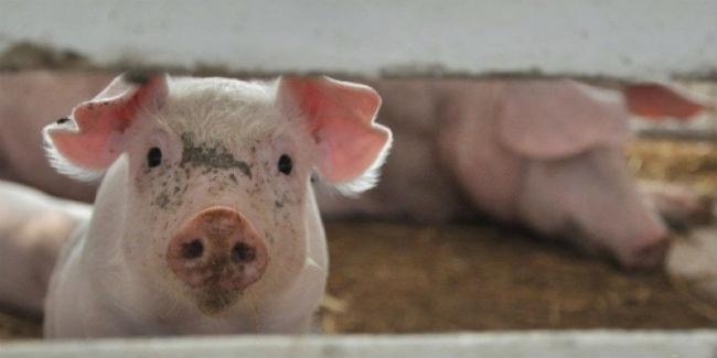 Мэр Измаила призвал горожан не прятать свиней