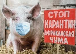 Африканская чума свиней зафиксирована в Килии