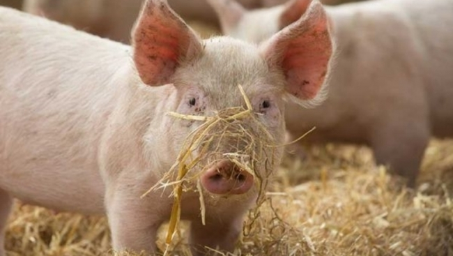 В Измаильском районе предполагают вспышку АЧС в Озёрном. В городе случаи падежа свиней прекратились