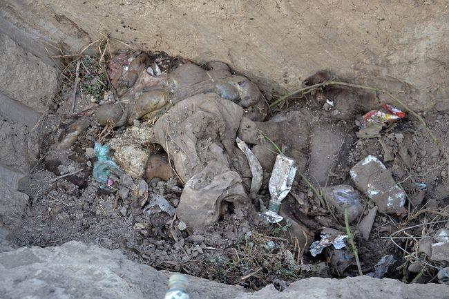 На мусорной свалке села Богатое гниют трупы погибших свиней