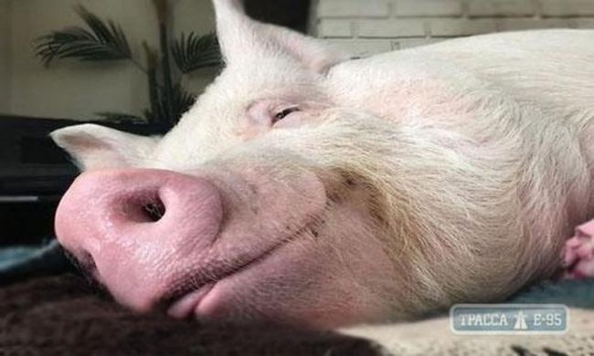 Специалисты выявили в Одесской области четыре новых случая заболевания африканской чумой свиней