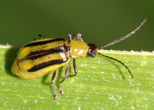 Західний кукурудзяний жук – карантинний шкідник, шляхи розповсюдження, фітосанітарні заходи