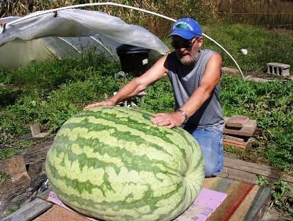На Херсонщине вырастили гигантский арбуз-мутант