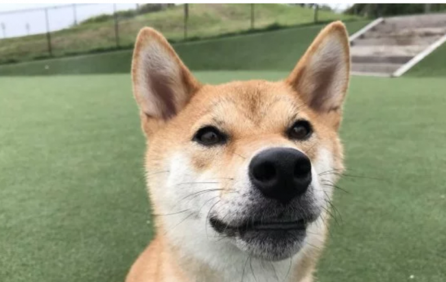 """Собаку научили """"говорить"""" на японском: смешное видео"""