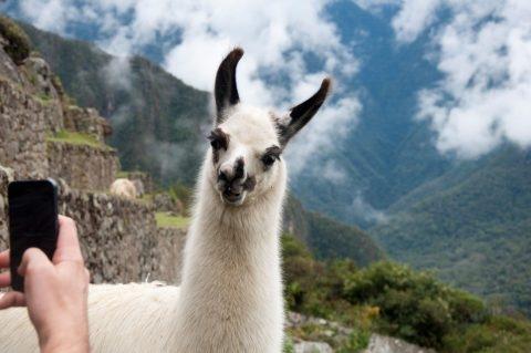 Ламы помогут навсегда спасти человечество от гриппа