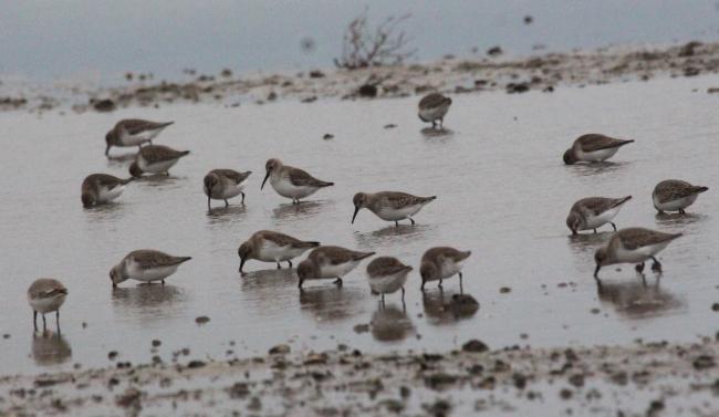 Решили остаться: теплолюбивые виды пернатых зимуют в Бессарабии