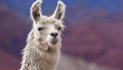Во французской коммуне изловили беспризорную ламу, которая несколько дней без присмотра бродила по городу