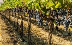 Одесская область первой в Украине составила полный кадастр виноградников