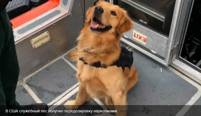 В США служебный пес получил передозировку наркотиками, обнюхивая пассажиров