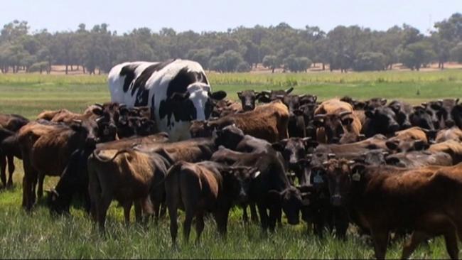 В Австралии живет гигантский бык ростом в 2 метра