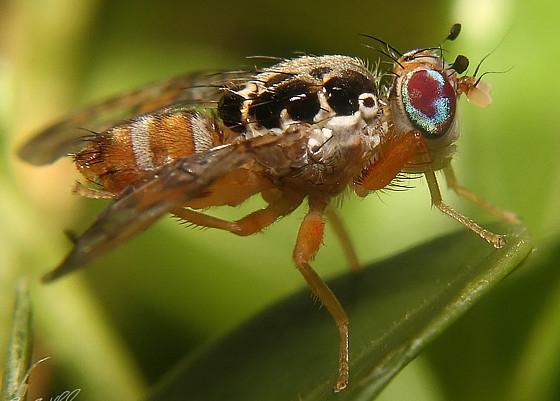 Середземноморська плодова муха Ceratitis capitata Wied