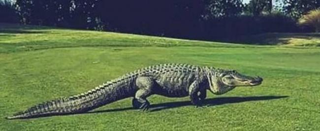 Большой аллигатор нагло вылез на газон и помешал гольфистам продолжить игру