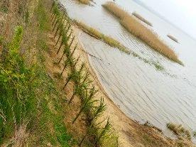Берега Днестровского лимана укрепляют вербами