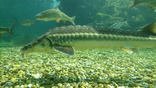 Ихтиофауна Дуная пополнилась двумя видами