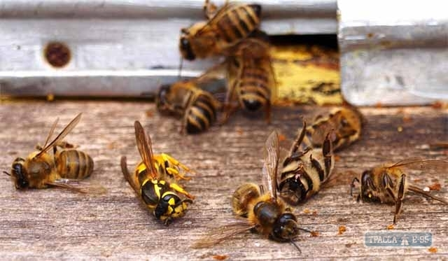 Массовая гибель пчёл произошла в Болградском районе