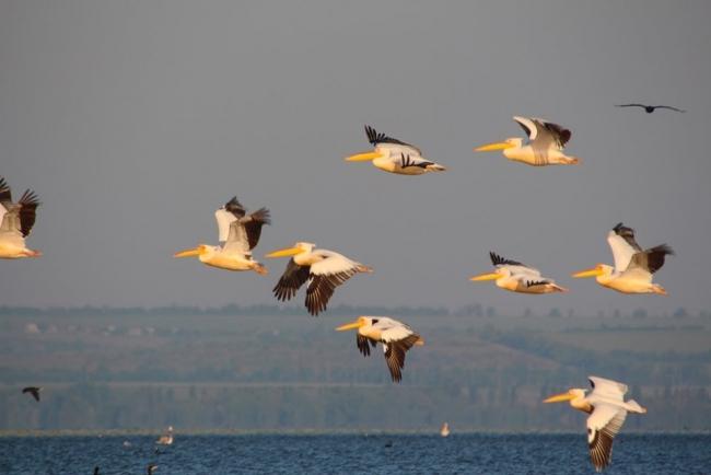 Розовые пеликаны облюбовали Днестровский лиман