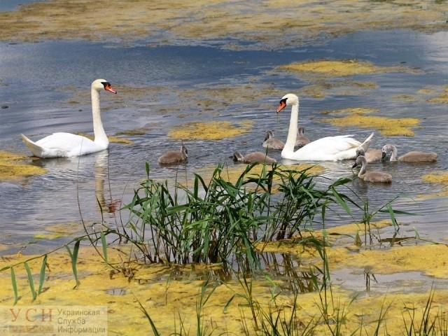 На лимане близ Одессы обосновались лебеди-шипуны