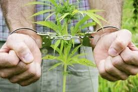 За незаконное выращивание наркосодержащих культур законом предусмотрена ответственность