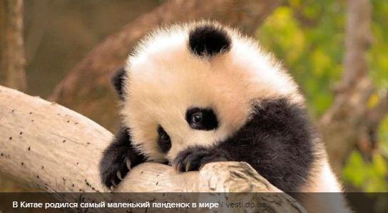 В Китае родился самый маленький пандёнок в мире: трогательные фото