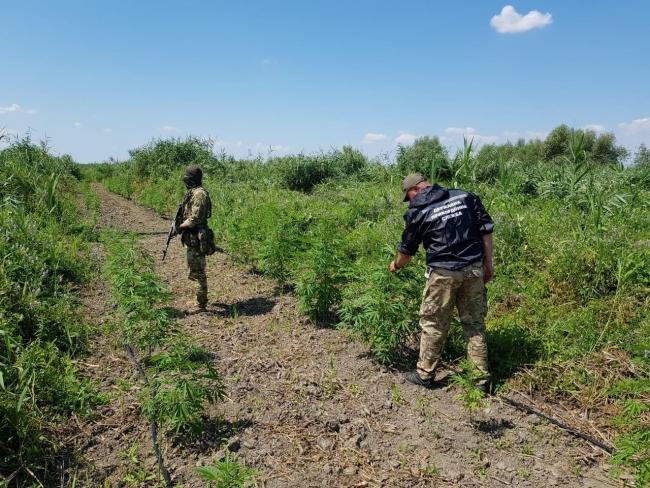 Две плантации конопли обнаружили пограничники в Ренийском районе