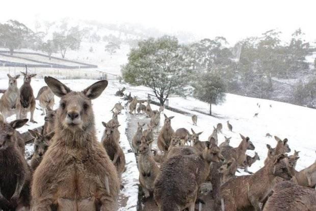 Кенгуру резвятся в снегу: Австралию накрыло снегом