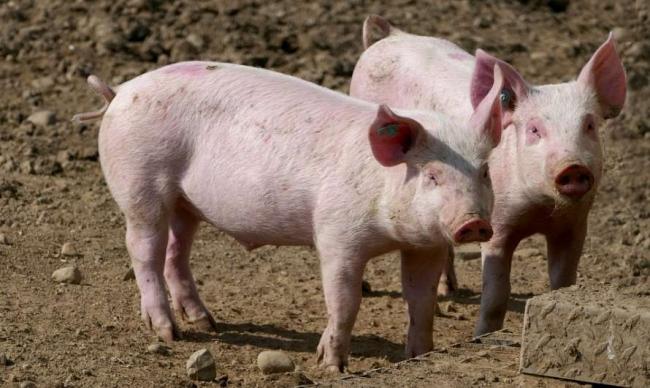 Медики признали свинину самым вредным мясом
