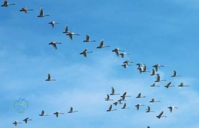В Тузловские лиманы прилетели на зимовку лебеди редких видов