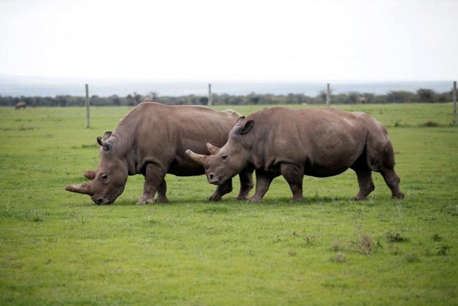 Учёные научились подделывать рог носорога, чтобы спасти этих животных от браконьеров