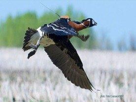 Краснокнижные гуси летят на зимовку в Одесскую область